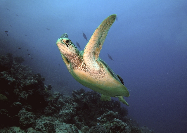 green-turtle2.JPG